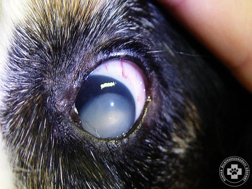 Szemlencse ficam luxáció - kutya és macska szembetegség 86a41510a2