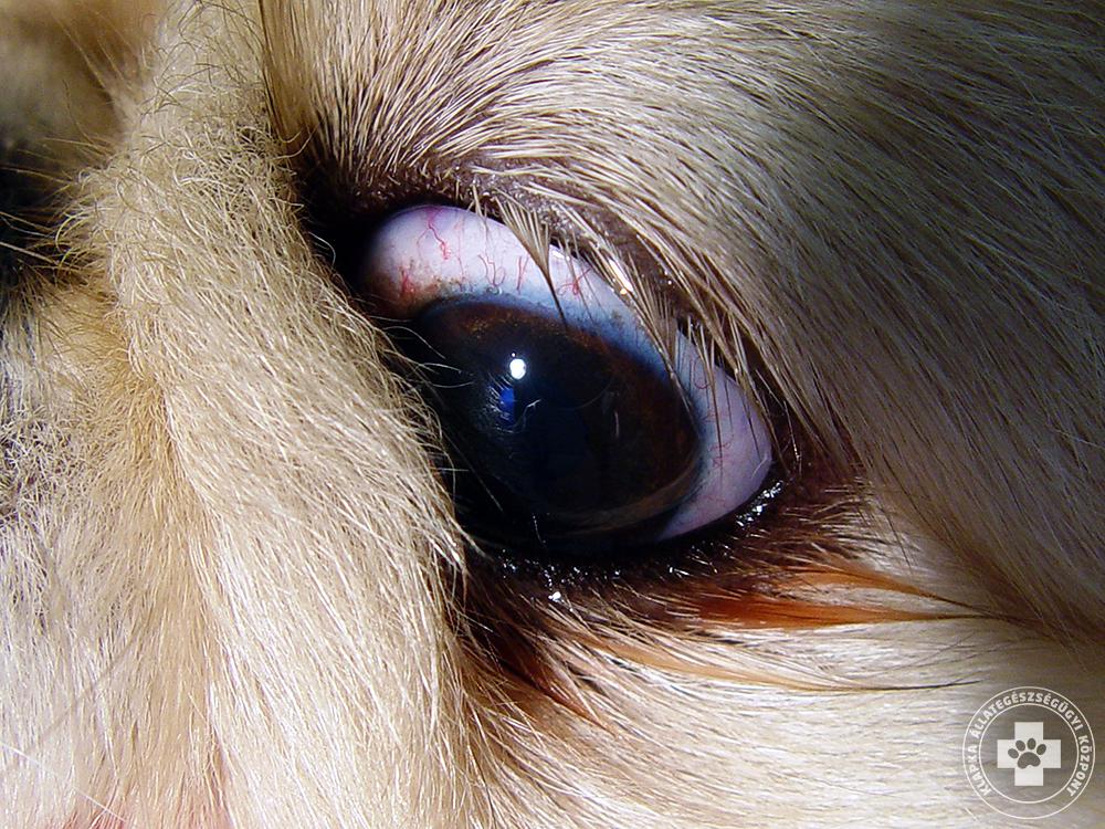 Genetikailag öröklődő kutya szembetegség Archives - Kisállat ... df144d966d