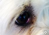 cherry_eye_01