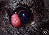 cherry_eye_02