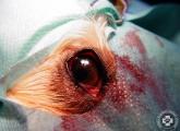 cherry_eye_10