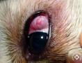 Ínhártya-gyulladás (Episcleritis)