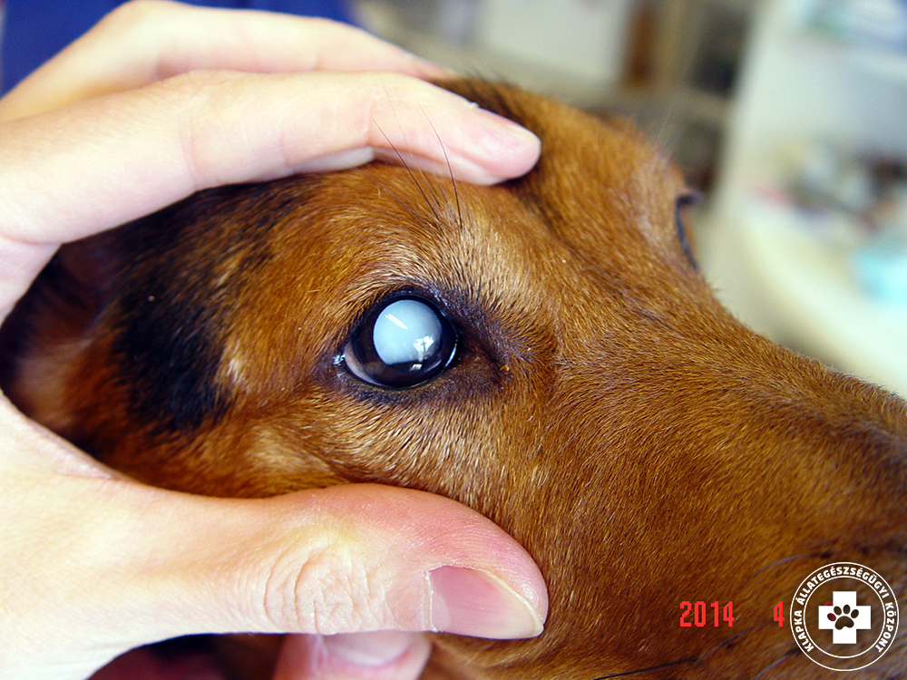szemész kutyák számára