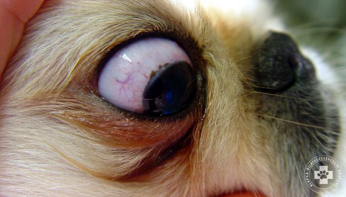 Kutya szem szemölcs